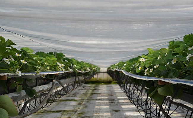 Unsere Erdbeeren aus Münster gibt es bis in den Spätsommer