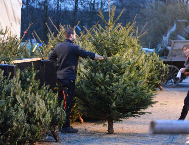 Weihnachstbäume in verschiedenen Größen auf Bäcker's Hof in Münster