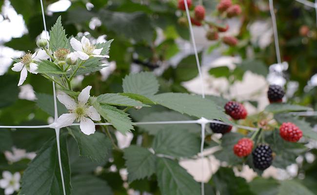 Frische Beeren aus Münster von Bäcker's Erdbeer -und Spargelhof